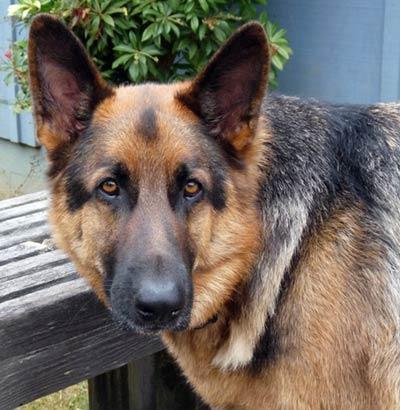 Adopt A Dog But Current Dog Aggressive